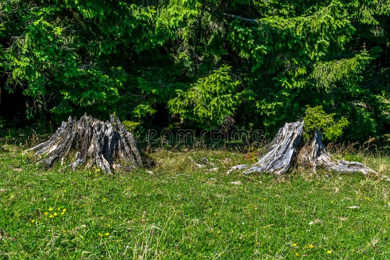 Two tree stumps on a meadow at the edge of a dense conifer tree stock photo