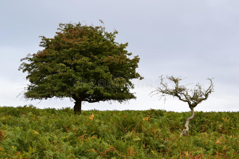 Two trees on Dartmoor. With undergrowth royalty free stock photo