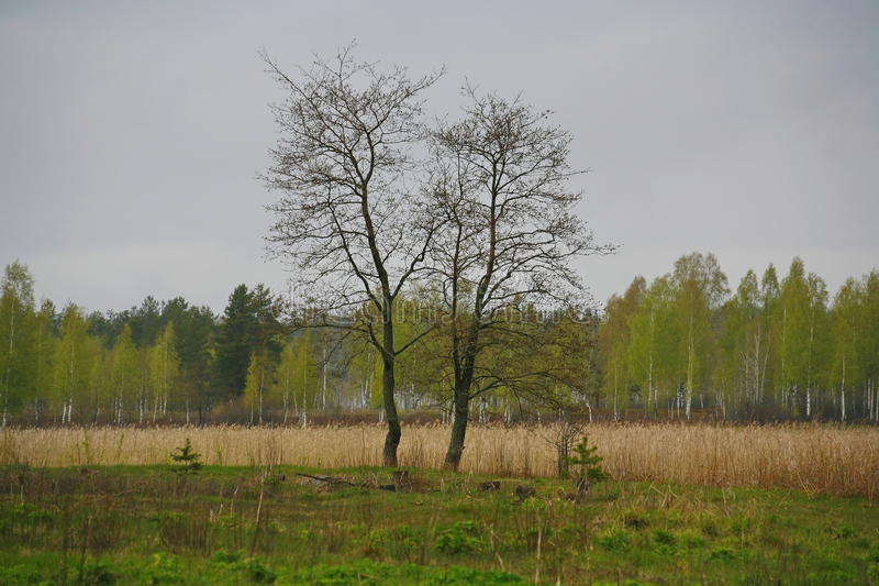 Two trees in the field - a metaphor of love couples. the nature of Northern Russia. landscape desert meadow, understory and stock photos
