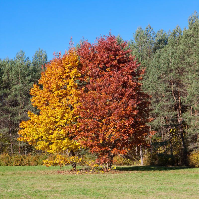 Free Two Trees In Autumn Stock Photography - 27807432