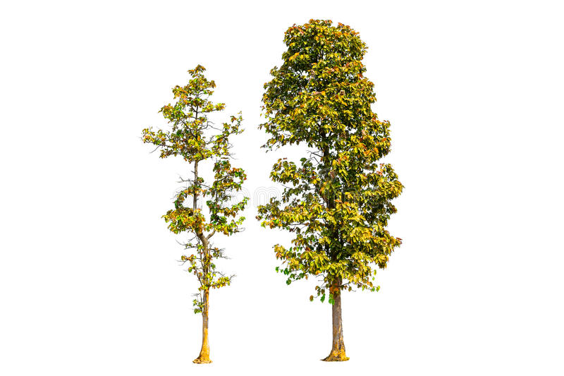 Two trees isolated. On white background with clipping path stock image