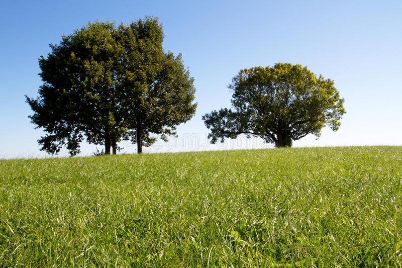 Two trees on a meadow royalty free stock photo