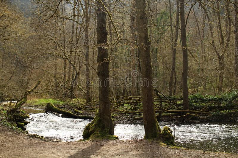 Two trees near river in spring forest.Sunny day in Europe stock images
