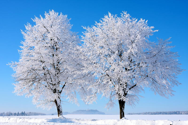 Two trees in winter stock images