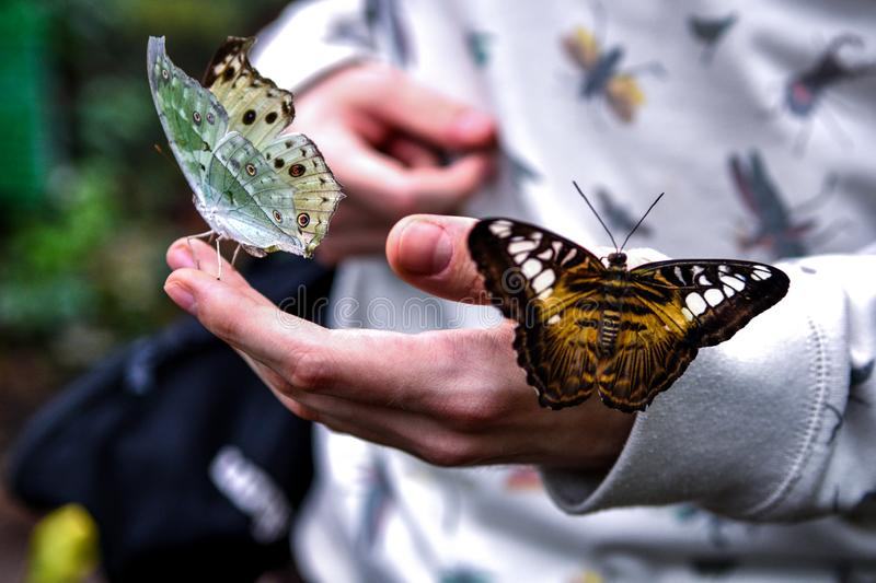Two tropical butterflies with green and brown wings sit on the hand of a young man royalty free stock photography