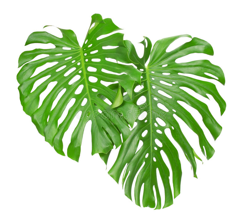 Two tropical leaves stock photo