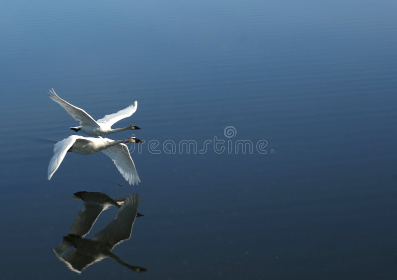 Two trumpeter swans flying by stock photos
