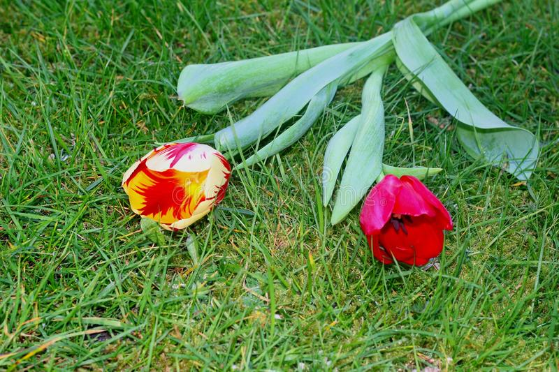 Decorated Dutch tulips in the grass, symbol of love, Mothers Day. A couple of two Dutch tulips are decorated in the green grass of the lawn, a symbol of love royalty free stock images