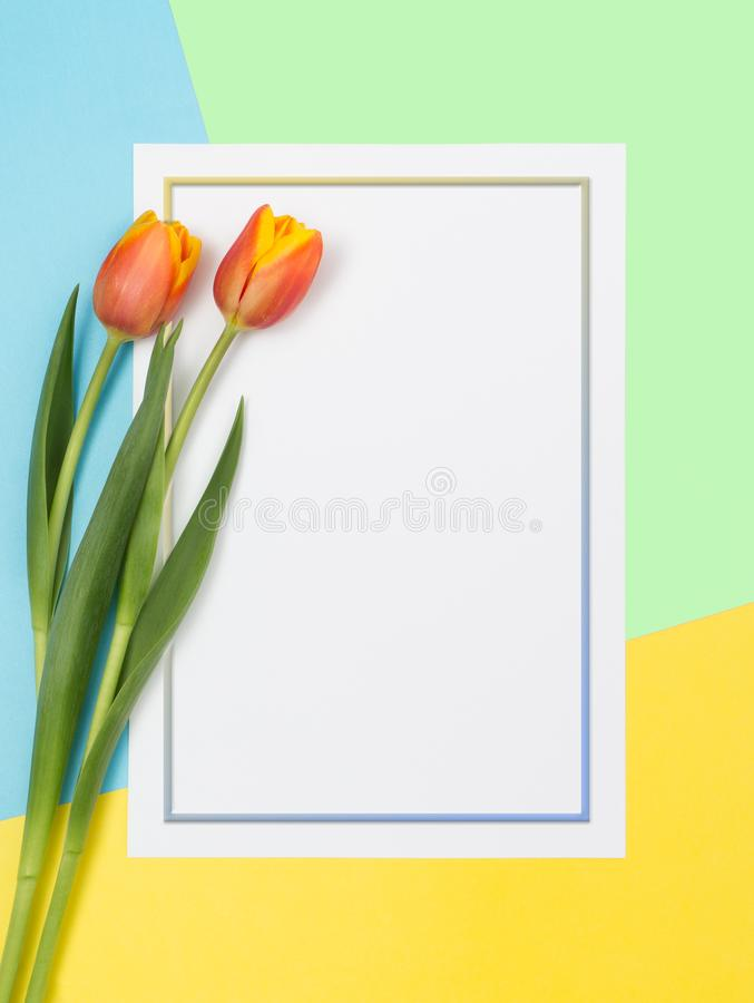 Two tulips on a colored background 4 stock photo