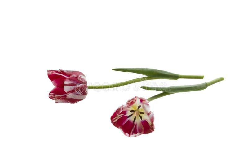 Two tulips stock image