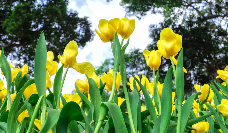 Two tulips pointing at the sky next to flower forest. Two tulips pointing at the sky next to the forest yellow tulips symbolizing glory like the flower in the royalty free stock photography