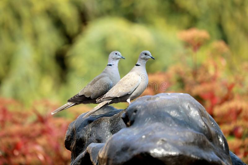 Two Turtledoves Looking in The Same Direction. Two Eurasian Collared Dove Looking in The Same Direction stock images
