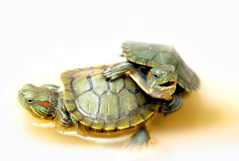 Two turtles royalty free stock images