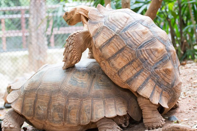 Two turtles are breeding. royalty free stock photo