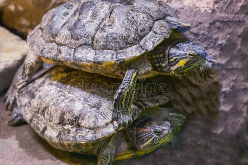 Two turtles in closeup one lying on top of the other funny animal behavior royalty free stock images