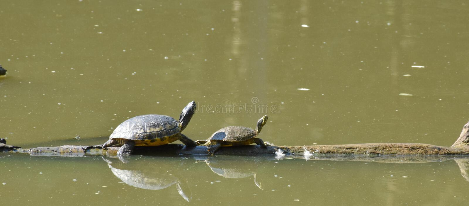 Two turtles on a floating log. Two yellow bellied slider turtles sunning themselves on a floating tree log stock photography