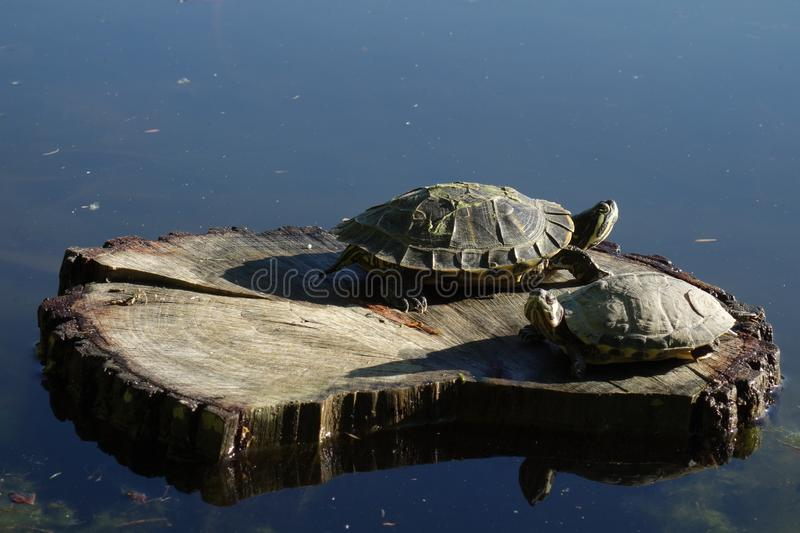 Two turtles on log in the sunlight royalty free stock photos