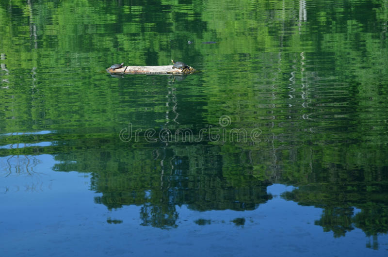 Two turtles sunning on a log in pond with reflections of green trees and blue sky in water surface royalty free stock photos