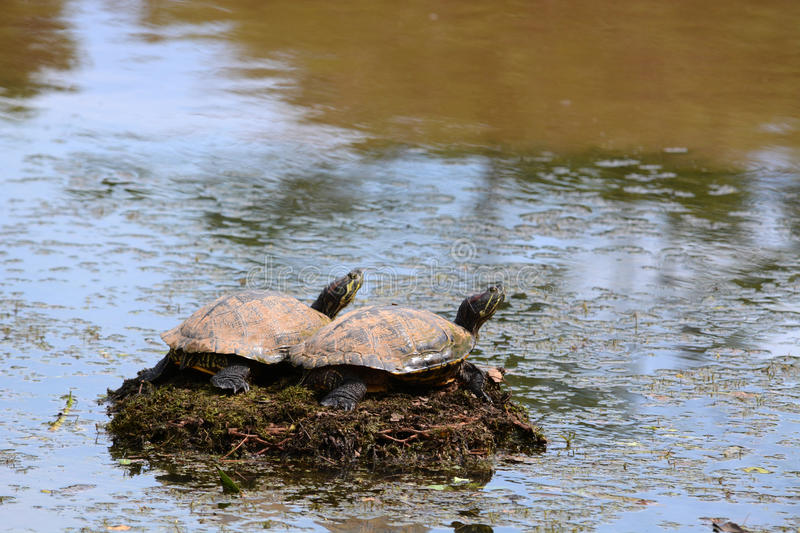 Two turtles sunning. Themselves to warm up on a clogged drainage grate royalty free stock photos