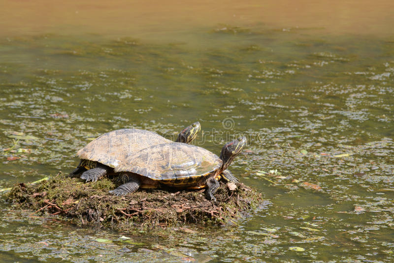Two turtles sunning. Themselves to warm up on a clogged drainage grate royalty free stock images