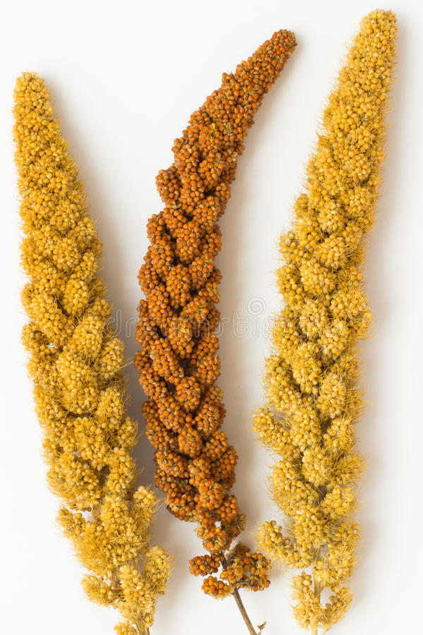 Two twig yellow millet and a sprig of yellow millet. On a white background royalty free stock photos