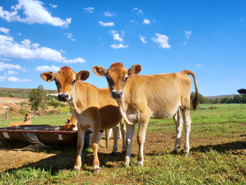 Two twin calves look into camera. Shot near Bonnievale, Western Cape, South Africa stock photo