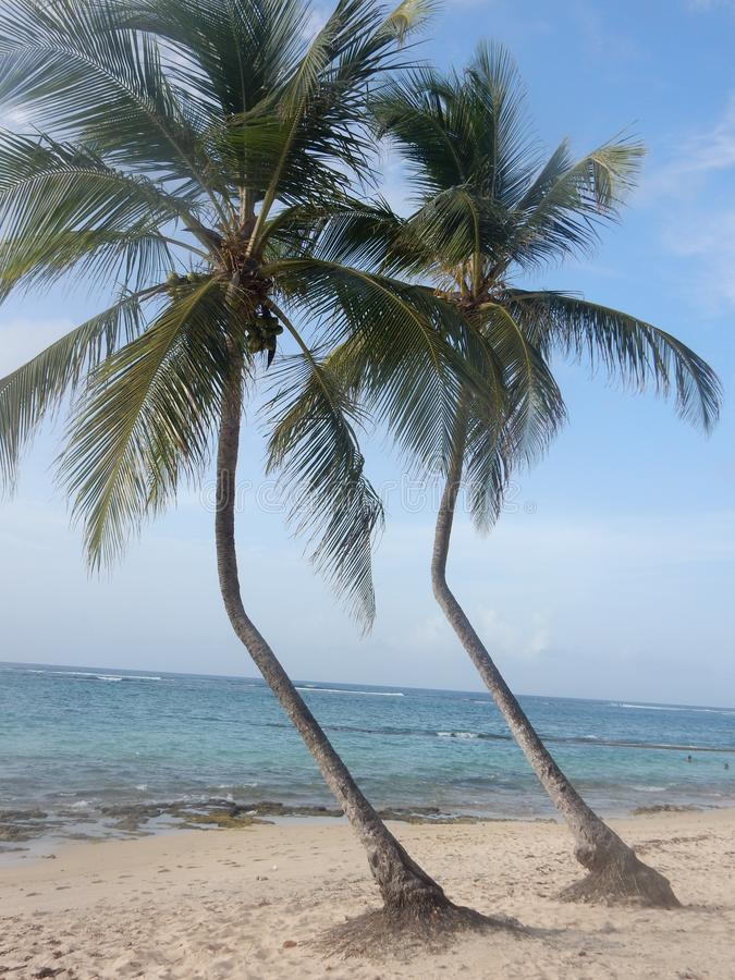 Two twin coconut trees on the beach stock image