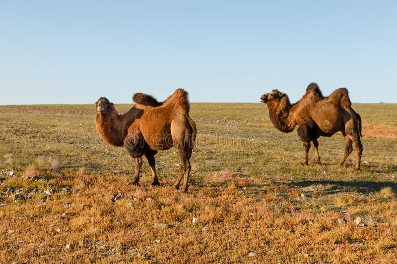 Two two-humped camels in the steppes of Mongolia stock photo