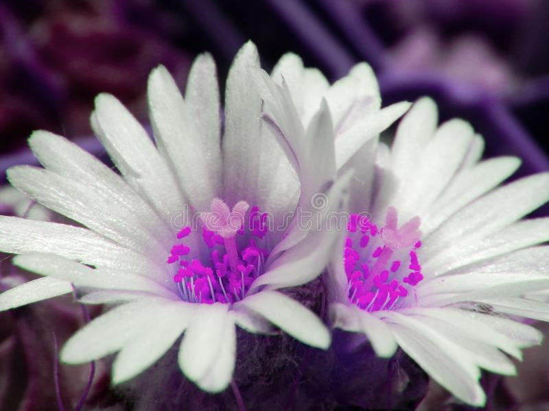 Two ultra violet flowers-twins of one cactus royalty free stock photography