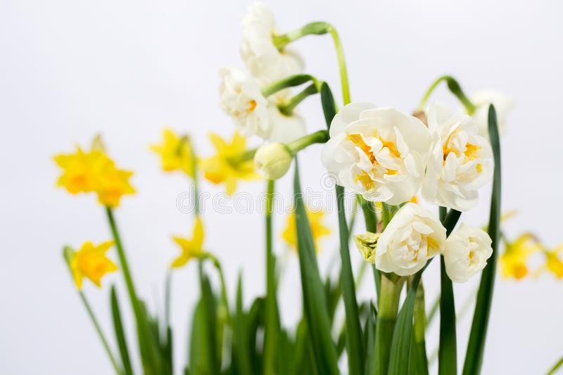 Two varieties of daffodils. Small yellow daffodils on a white background royalty free stock image