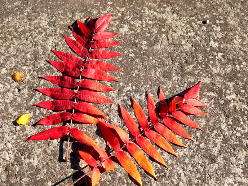 Two very bright  red leaves of sumac over cement background autumn. stock photos