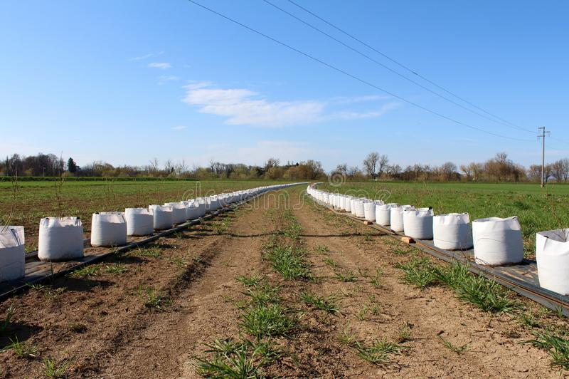 Two very long rows of small trees planted in large white bags ready for planting in field put on nylon protection next to pipes. For watering on dry days royalty free stock photo