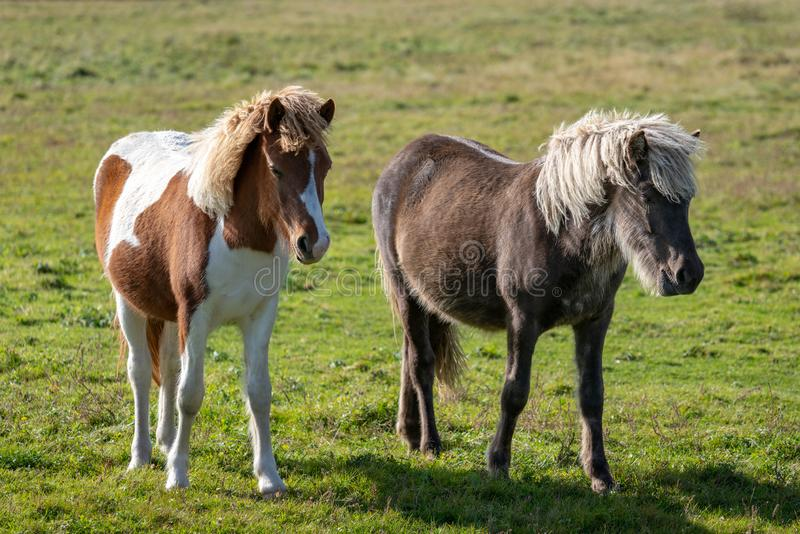 Two young Icelandic horses in a green summer pasture royalty free stock images