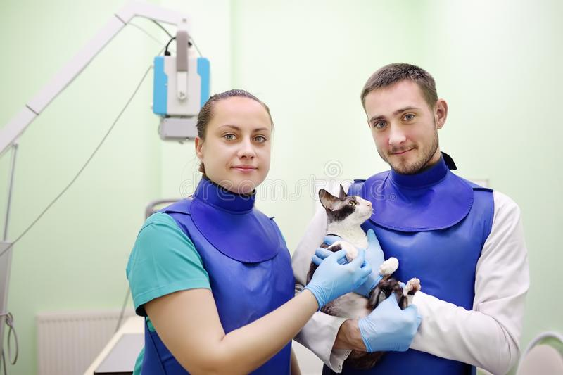 Two veterinarian doctor are going to do an x-ray of the breed Cornish Rex cat during the examination in veterinary clinic. Pet health stock image