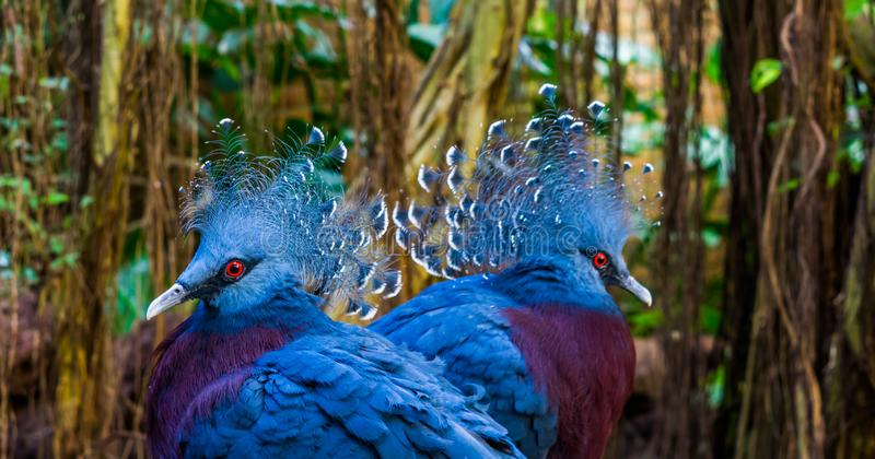 Two victoria crowned pigeon faces in closeup, beautiful and colorful birds from new guinea, Near threatened animal specie stock photo