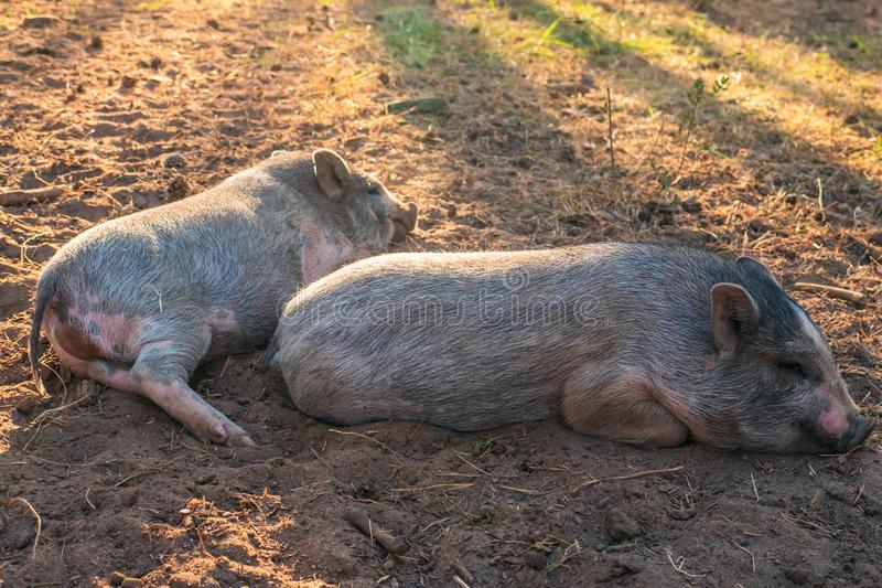 Two Vietnamese Piggyback Pigs lie and having rest on ground in sunset light on farm stock photo