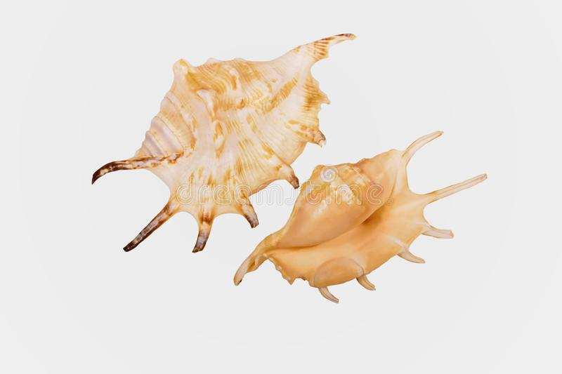 Two views of a shell of the orange spider conch Lambis crocata. `Lambis crocata`, commonly known as the orange spider conch, is a species of large sea snail, a stock photo