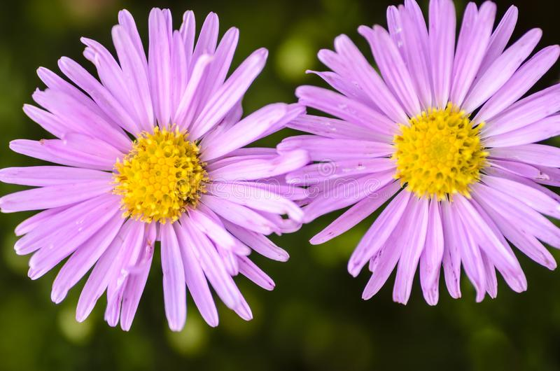 Violet aster isolated stock photo. Image of detail, circle