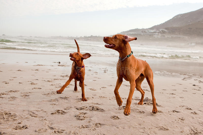 Two vizslas playing. On the beach royalty free stock image