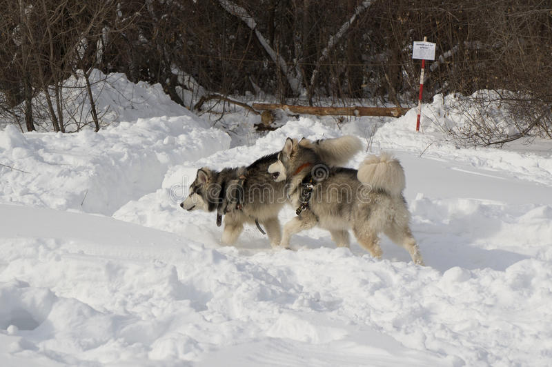 Two walking husky stock images