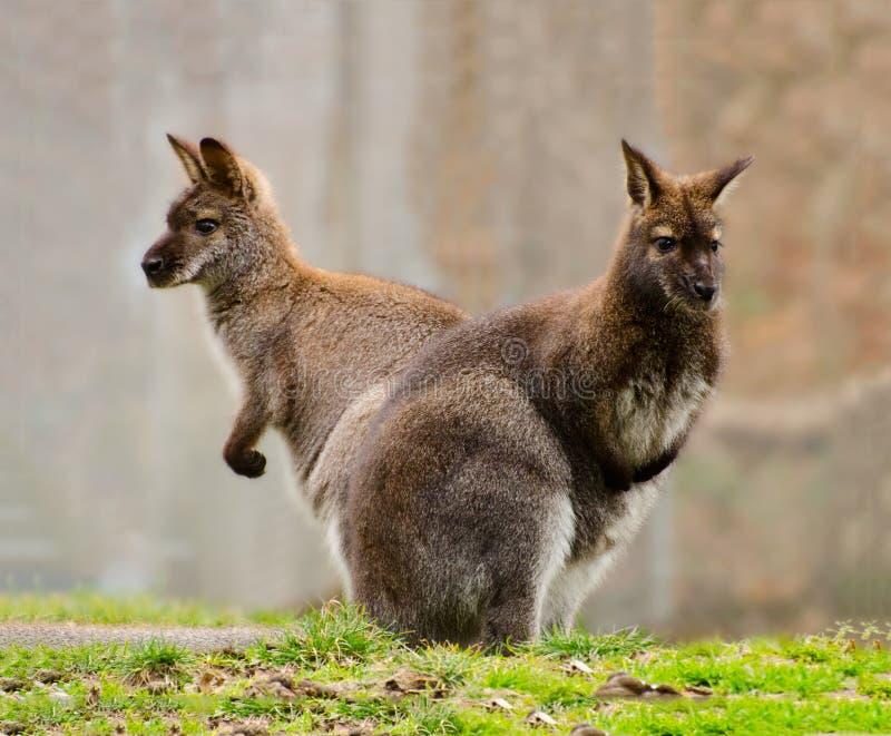 Two Wallabies Stock Photos