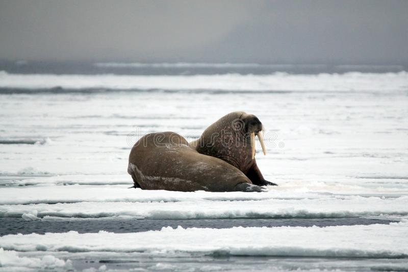 Walruses on the Ice. Two Walruses on the Ice, outside Spitsbergen. Svalbard, Norway royalty free stock images