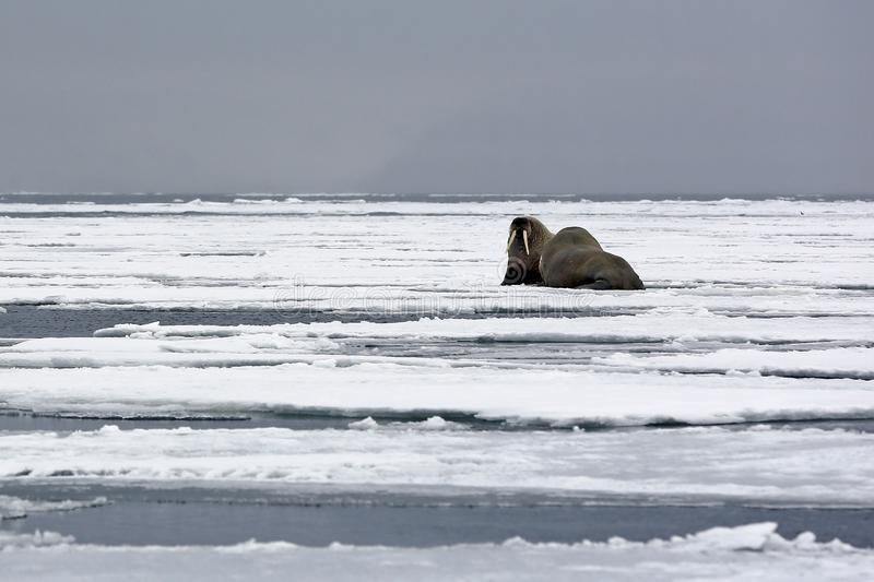 Walruses on the Ice. Two Walruses on the Ice, outside Spitsbergen. Svalbard, Norway royalty free stock photo