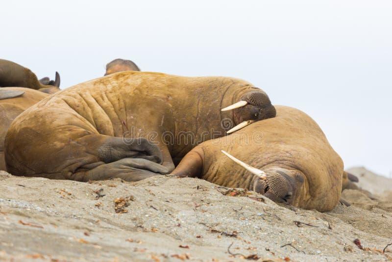 Two walruses odobenus rosmarus sleeping in harmony, sandy beac. Two natural walruses odobenus rosmarus sleeping in harmony, sandy beach stock photo