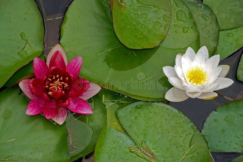 Two water lilies stock image