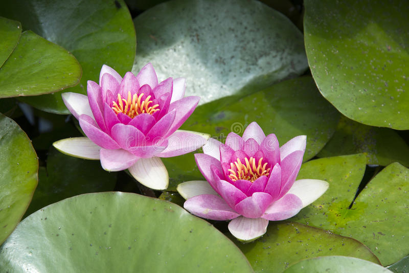 Two water lilies. Water lilies or lotus flowers in a garden pond stock photo