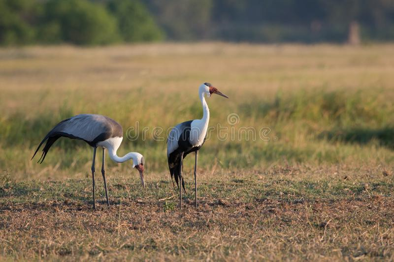 Two wattled cranes in a field. A horizontal, full length, colour photo of two wattled cranes, Bugeranus carunculatus, in the Okavango Delta, Botswana royalty free stock image