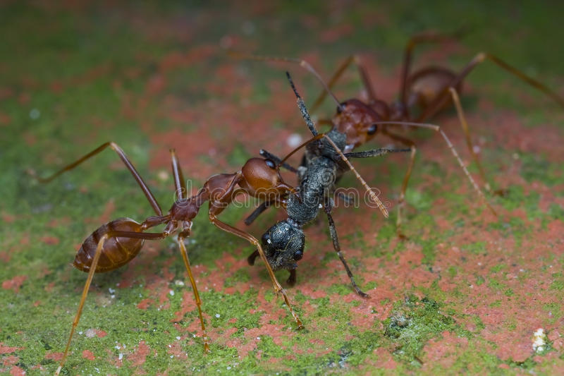 Two weaver ants attacking a black ant stock images
