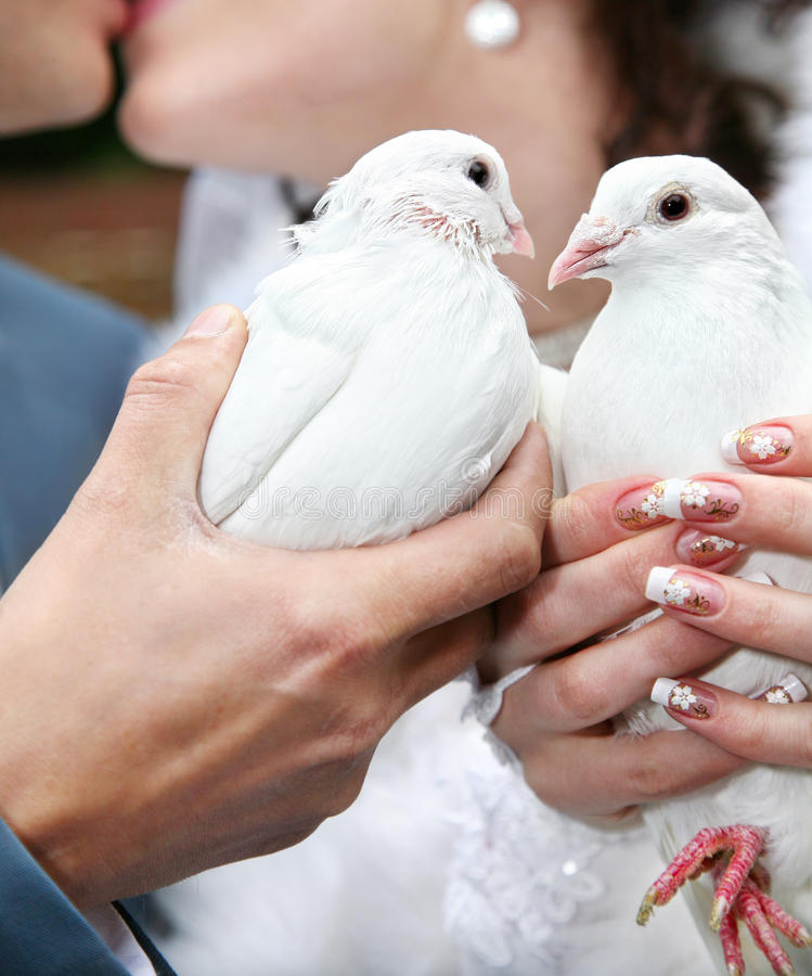 Two wedding pigeons. Two pigeons in hands of kissing couple on wedding day royalty free stock images