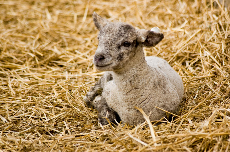 Download Two week old lamb resting stock photo. Image of livestock - 23904472